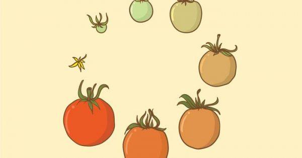 【番茄圖片】42款 Illustrator AI番茄圖案下載,番茄素材推薦款
