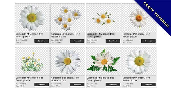 【甘菊PNG】精選17款甘菊PNG圖案素材免費下載,免費的甘菊去背點陣圖