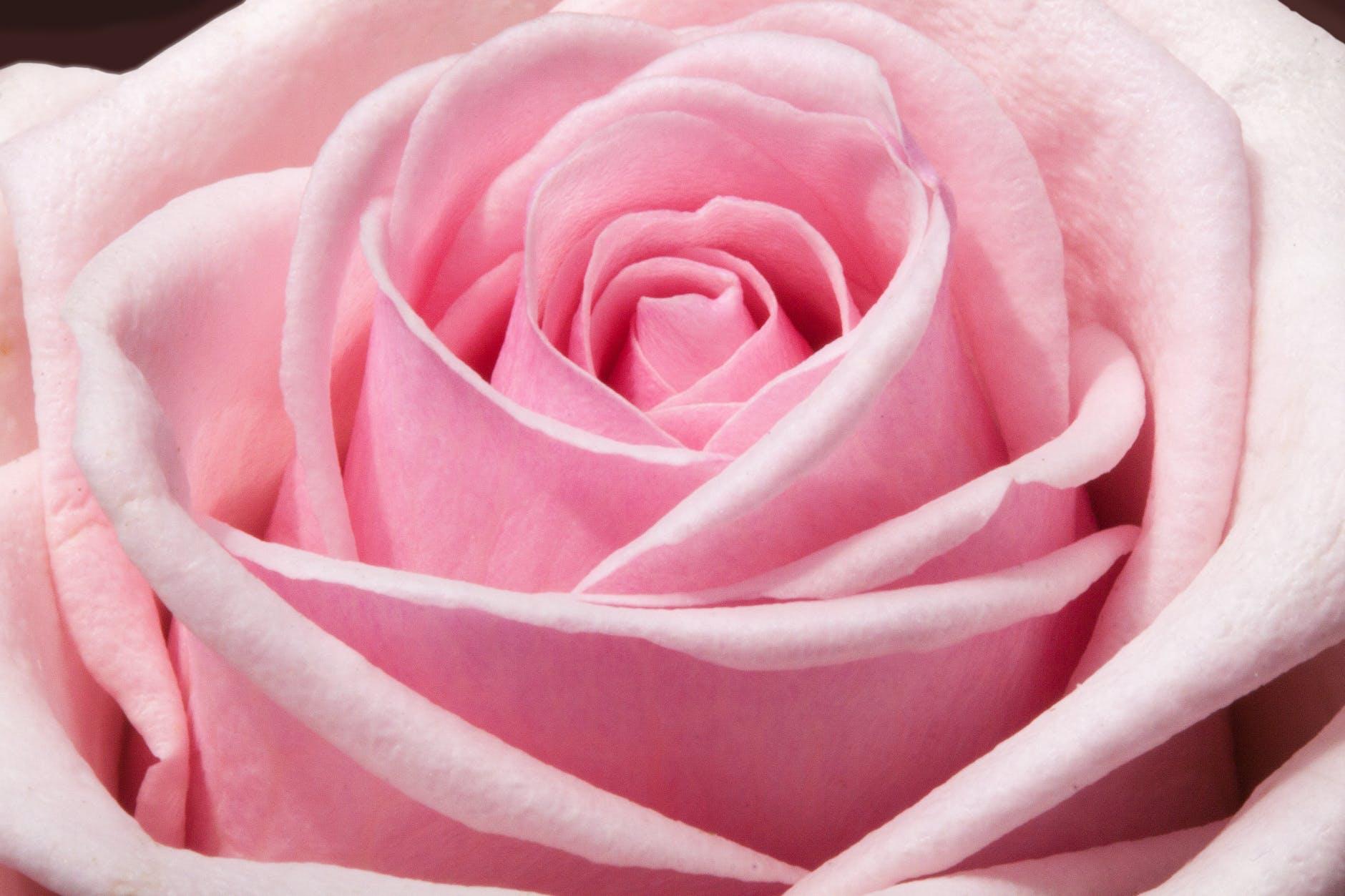 玫瑰背景 免費下載 | 天天瘋後製