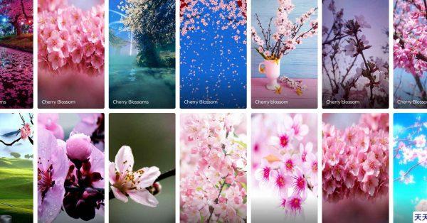 600張+ 日本櫻花桌布下載,電腦版和手機版都能套用