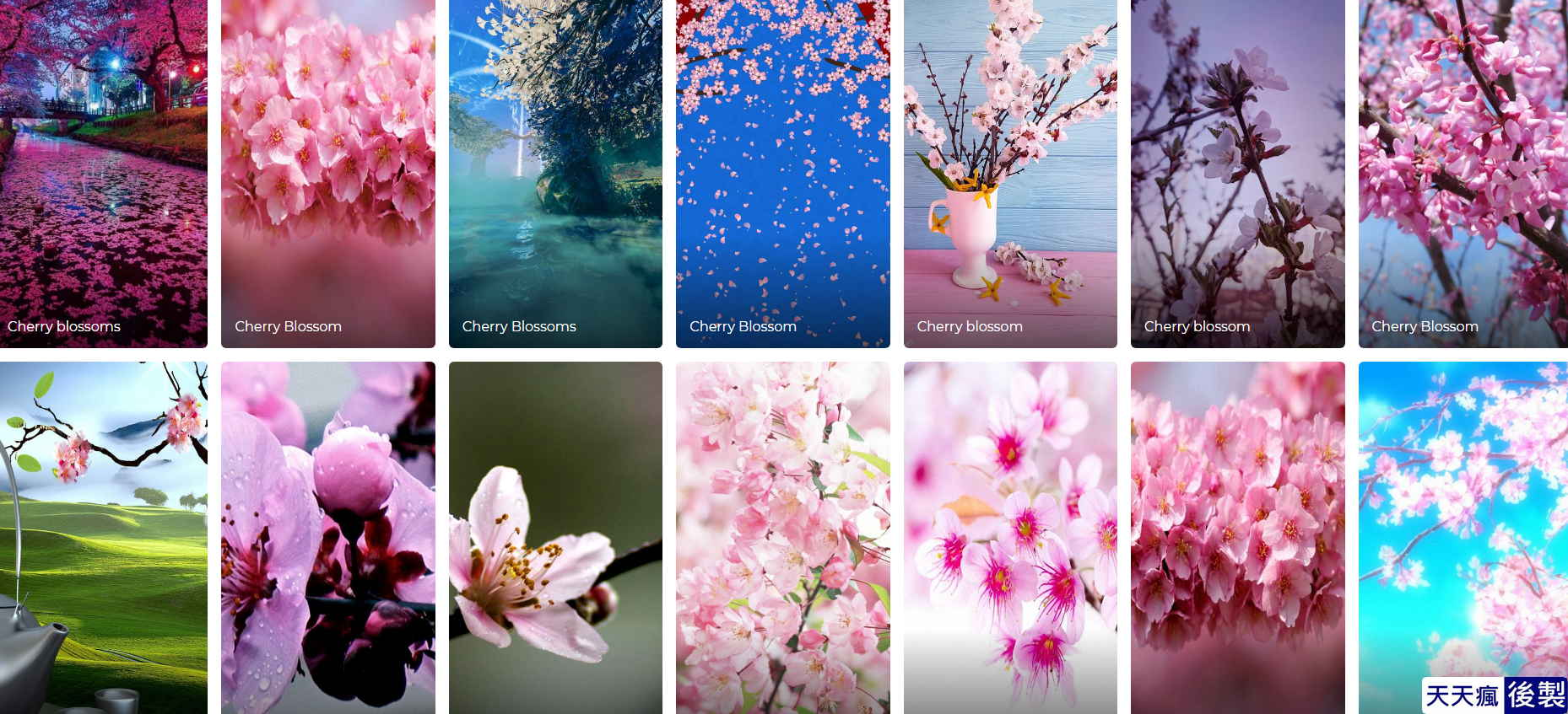 櫻花桌布下載