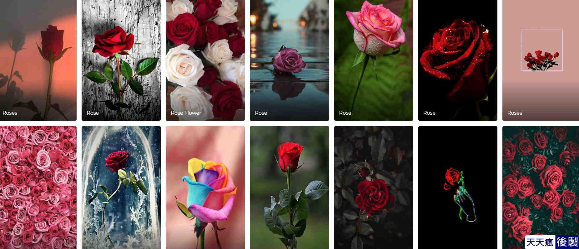 玫瑰花桌布下載